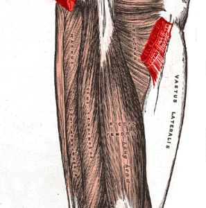 Hamstrings – The Most Overrated Muscle Group for the Squat
