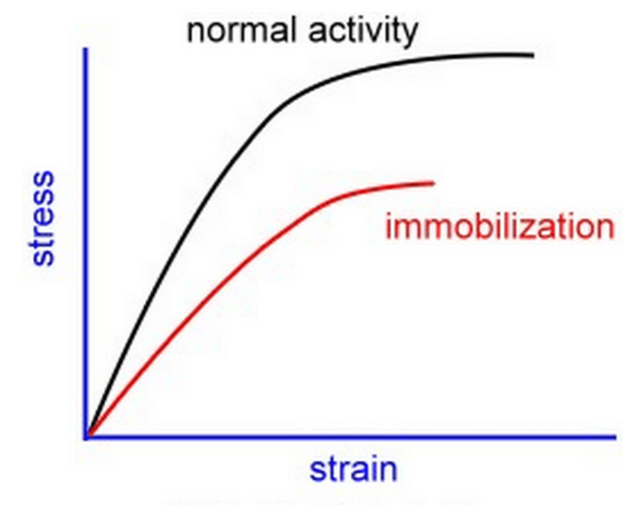 Effect of immobilization on muscle stress-strain behavior