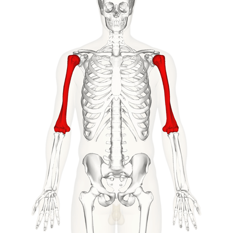 Humerus How to Bench