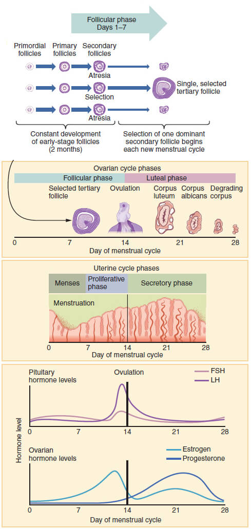 Wikimedia chart shows menstrual cycle phases and hormone levels.
