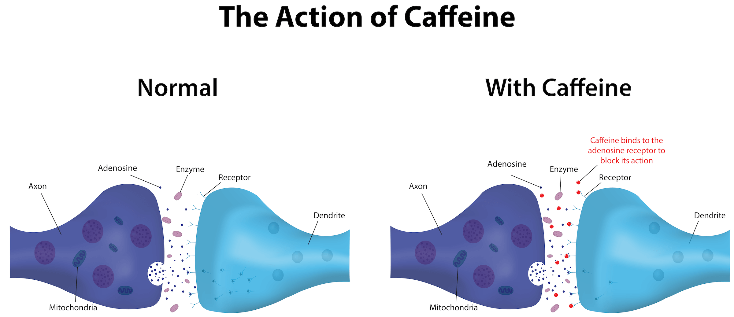 action of caffeine